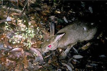ニホンノウサギの画像 p1_25